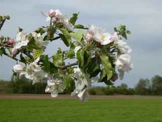 Apfelbaumblüte, Foto NABU GG