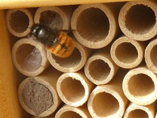 weibliche gehörnte Mauerbiene Foto NABU GG