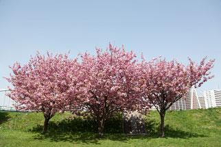 北海道 豊平川 河川敷の三本桜