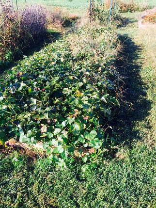 Sweet Potato Raised Garden Bed Windy Ridge Naturals