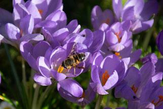 Krokus Wildkrokus Honigbiene Frühblüher Dr. Ute Nieveler NABU Düren