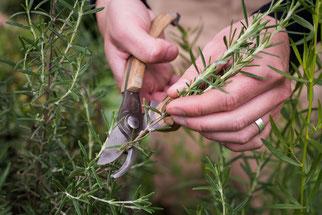Rosmarin Heilpflanze des Jahres 2011 Natur des Jahres 2011 NABU Düren