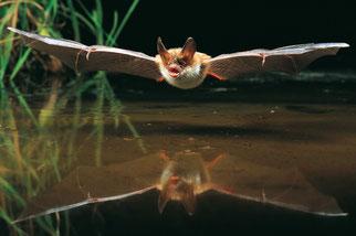 Bechsteinfledermaus Arbeitskreis Fledermausschutz NABU Düren
