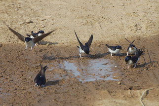 Schwalben Mehlschwalben Vogelschutz Artenschutz Schwalbenfreunde gesucht NABU Düren
