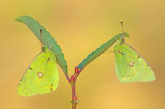 Goldene Acht Schmetterling des Jahres 2018 Natur des Jahres 2018 NABU Düren