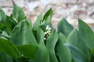 Maiglöckchen Giftpflanze des Jahres 2014 Natur des Jahres 2014 NABU Düren