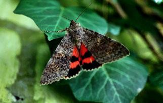 Rotes Ordensband Das Rote Ordensband Schmetterling des Jahres 2015 Natur des Jahres 2015 NABU Düren