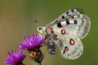 Moselapollo Tagfalter Insekten retten Artenschwund stoppen NRW-Naturschutzverbände Volksinitiative Artenvielfalt NABU Düren