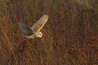 Schleiereule Vogelschutz Artenschutz Brutplatz für die Schleiereule NABU Düren
