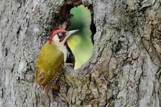 Grünspecht Vogel des Jahres 2014 Natur des Jahres 2014 NABU Düren