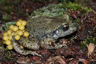Geburtshelferkröte Amphibien Artenschutz NABU Düren