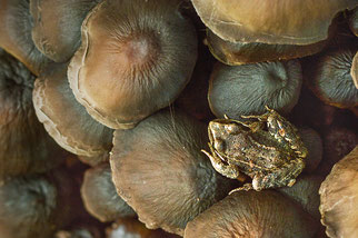 Amphibien Amphibienschutz Chytridpilz NABU Düren
