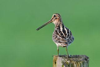 Bekassine Vogel des Jahres 2017 Natur des Jahres 2017 NABU Düren