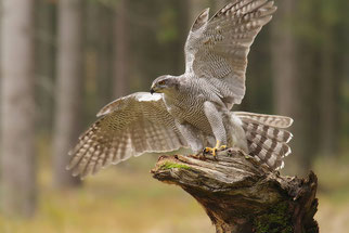 Habicht Vogel des Jahres 2015 Natur des Jahres 2015 NABU Düren