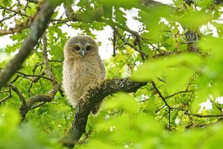 Waldkauz Ästling Vogel des Jahres 2018 Natur des Jahres 2018 NABU Düren