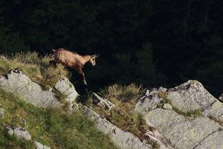Gämse Wildtier des Jahres 2012 Natur des Jahres 2012 NABU Düren