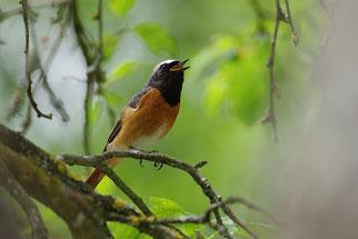 Gartenrotschwanz Vogel des Jahres 2011 Natur des Jahres 2011 NABU Düren