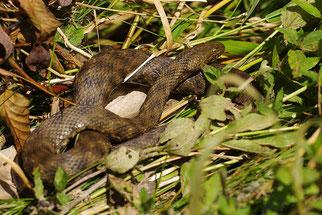 Würfelnatter Reptil des Jahres 2009 Natur des Jahres 2009 NABU Düren