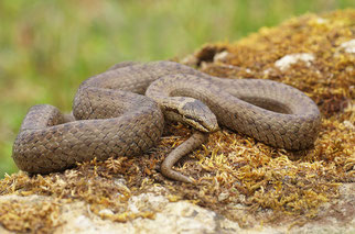 Schlingnatter Reptil des Jahres 2013 Natur des Jahres 2013 NABU Düren