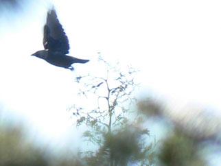 Dohle Vogel des Jahres 2012 Natur des Jahres 2012 NABU Düren