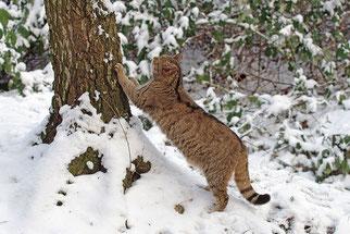 Wildkatze Wildtier des Jahres 2018 Natur des Jahres 2018 NABU Düren