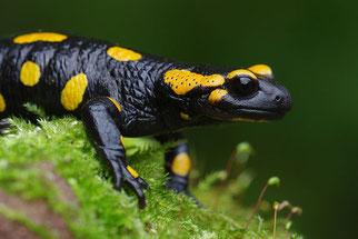 Feuersalamander Amphibien Natur im Kreis Düren NABU Düren