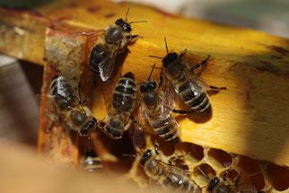 Honigbiene Honigbienen an der NABU-Hütte Artenschutz NABU Düren