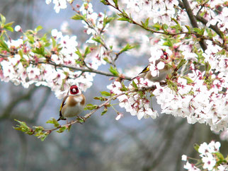 Stieglitz Stieglitzpaar Vogel des Jahres 2016 Natur des Jahres 2016 NABU Düren