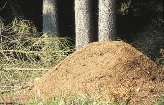 Ameisenhaufen Waldameisen Das Jahr der Waldameisen NABU Düren