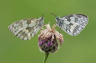 Schachbrettfalter Schmetterling des Jahres 2019 Natur des Jahres 2019 NABU Düren