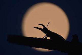 Hirschkäfer Insekt des Jahres 2012 Natur des Jahres 2012 NABU Düren