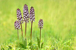 Purpurknabenkraut Orchidee des Jahres 2013 Natur des Jahres 2013 NABU Düren