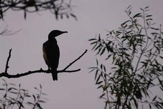 Kormoran Vogel des Jahres 2017 Natur des Jahres 2017 NABU Düren