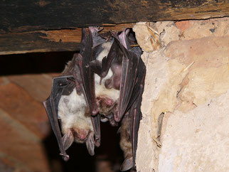Großes Mausohr Fledermäuse Artenschutz Arbeitskreis Fledermausschutz NABU Düren