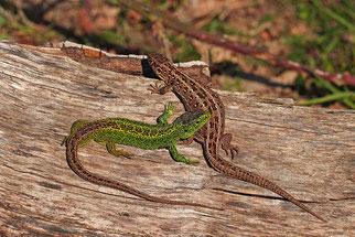 Zauneidechse Natur des Jahres 2020 Reptil des Jahres 2020 NABU Düren