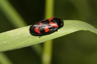Gemeine Blutzikade Insekt des Jahres 2009 Natur des Jahres 2009 NABU Düren