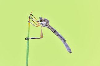 Raubfliege Artenschutz Insekten NABU Düren