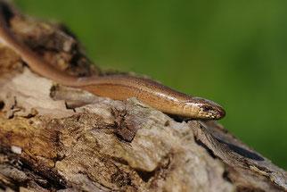 Blindschleiche Reptilien Natur im Kreis Düren NABU Düren
