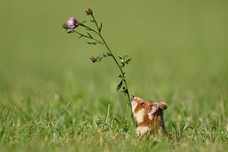 Feldhamster Wildtier des Jahres 2016 Natur des Jahres 2016 NABU Düren
