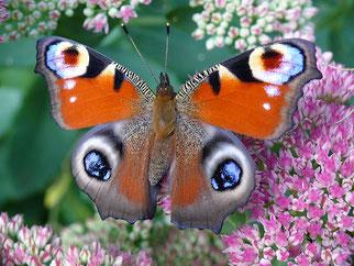 Tagpfauenauge Schmetterling des Jahres 2009 Natur des Jahres 2009 NABU Düren