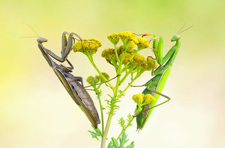 Gottesanbeterin Insekt des Jahres 2018 Natur des Jahres 2018 NABU Düren