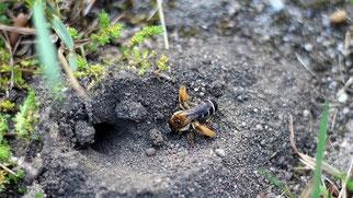 Hosenbiene baut ihr Nest in den Boden