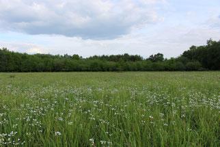 Nach der Wiedervernässung breitet sich das Wiesenschaumkraut wieder in den Moorwiesen aus