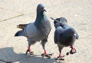 Tauben mit stark verklebten Füßen.