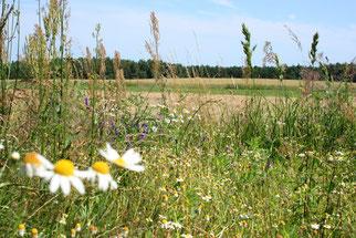 Der NABU setzt sich für eine naturverträgliche Landwirtschaft ein. So können Blühstreifen Lebensraum und Nahrungsquelle sein. Fotos: NABU/Eric Neuling
