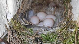 Hausrotschwänze hatten ihr Nest in einer Mauernische gebaut.