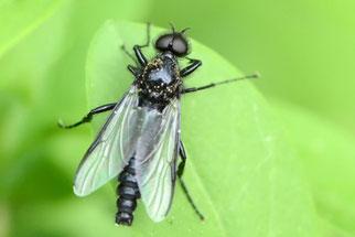 Eine männliche Märzmücke hat große, zusammenstoßende Augen. Foto: Stella Mielke/naturgucker.de