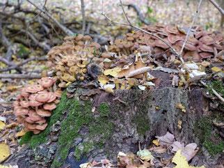 Zahlreiche Organismen sind auf einen hohen Totholzanteil angewiesen, zum Beispiel viele Insektenarten. Auch viele Pilze brauchen Totholz, sie spielen als Zersetzer eine wichtige Rolle im Nährstoffkreislauf.