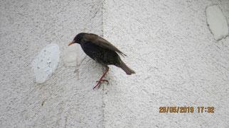 Vögel, wie dieser Star, konnten nicht mehr zu den Nistplätzen. Die Bruthöhlen waren verschlossen. Fotos: NABU Leipzig