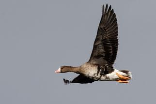 Fliegende Blässgans. Foto: Matthias Entelmann/naturgucker.de